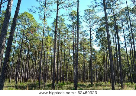 Landscape Planted Pines On Forestry Land 2