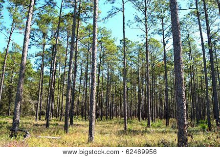 Landscape Planted Pines On Forestry Land 3