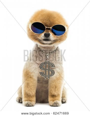 Groomed Pomeranian dog sitting and wearing a dollar necklace and blue sunglasses