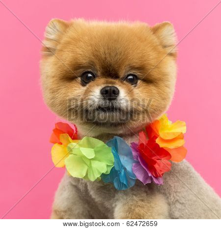 Close-up of a Pomeranian dog wearing a Hawaiian lei in front of a pink background