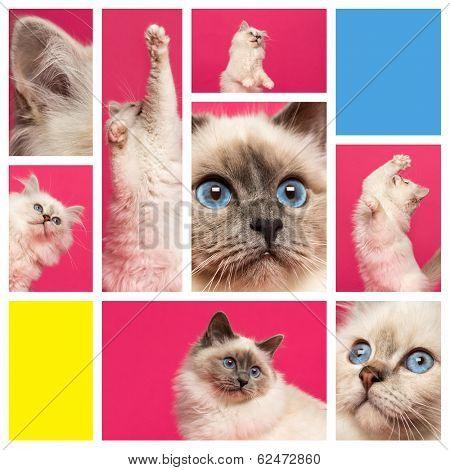 Composition of a Birman kitten