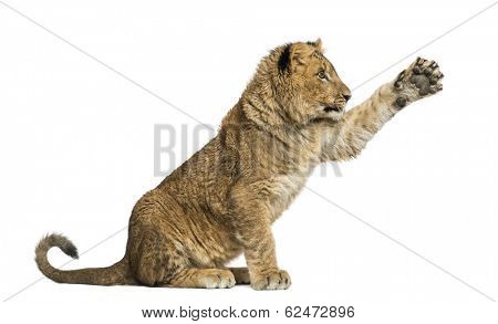 Lion cub sitting and pawing up