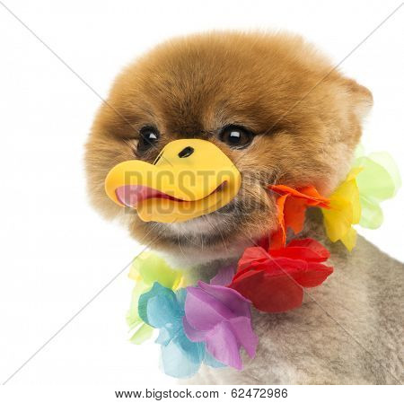 Close-up of a Groomed Pomeranian dog wearing a Hawaiian lei and a duck beak