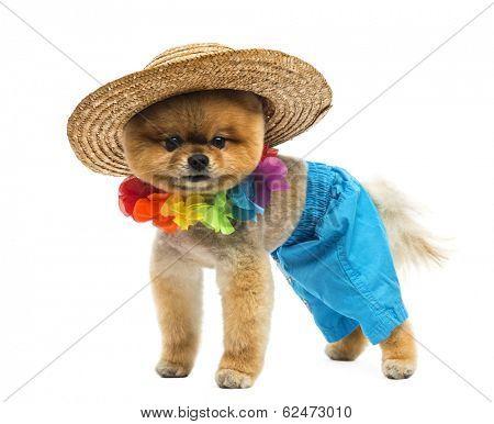 Pomeranian dog wearing short, Hawaiian lei, hat
