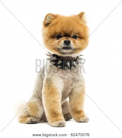 Groomed Pomeranian dog sitting wearing a spiked collar