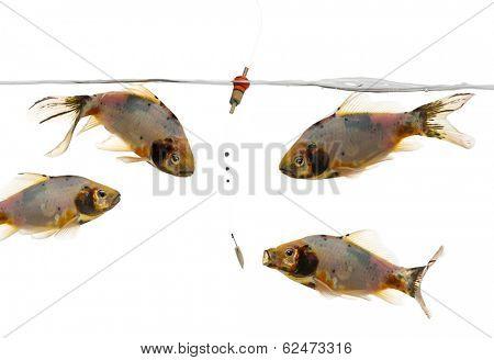 Shubunkin swimming around a Float