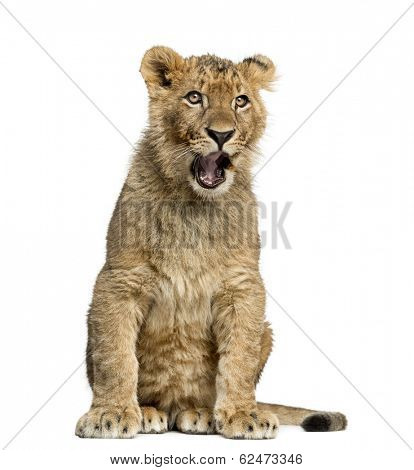 Lion cub sitting and yawning