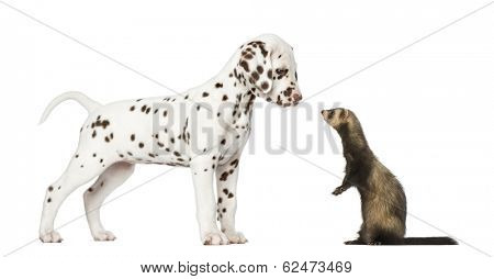 Dalmatian puppy standing and looking at a  Ferret standing on hind legs