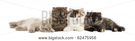 Higland straight and fold kittens lying together, looking at the camera, isolated on white