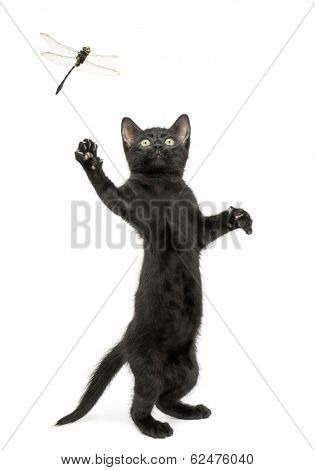 Black kitten standing on hind legs and trying to catch a dragonfly flying