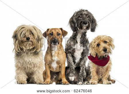 Group of Crossbreed sitting and looking