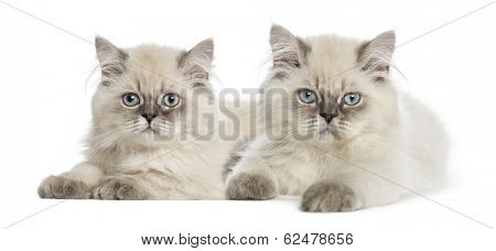British Longhair kittens lying and looking at the camera