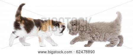 Highland fold kitten walking to each other