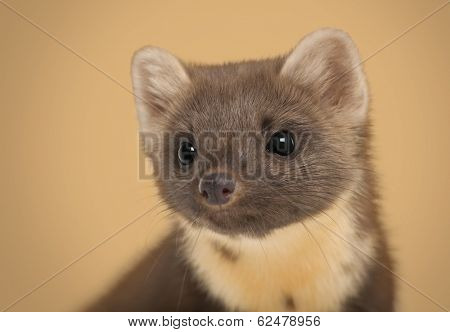 European Pine Marten, Martes martes against brown background