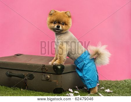 Groomed Pomeranian dog wearing shorts and leaning on an old suitcase on grass in front of pink backgound