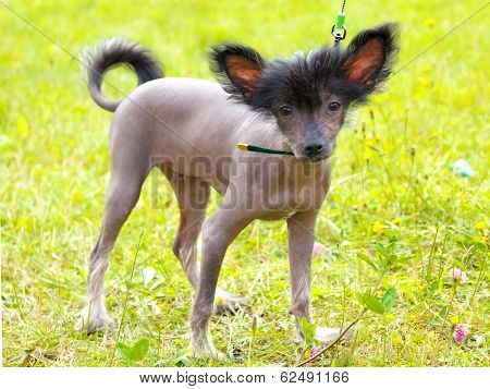 Vector Dog Chinese Crested Dog Breed