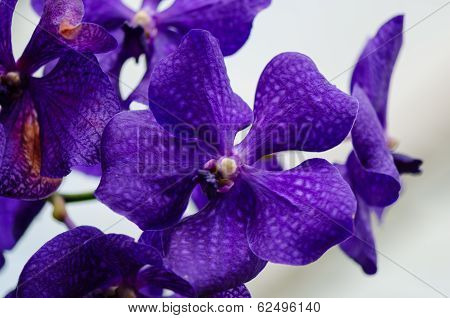 Dark Purple Orchid Blossom Close Up With Blured Light Blue