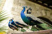 stock photo of victorian houses  - Few peacocks near building walking - JPG