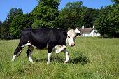 Freisian Cow In Meadow