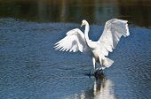 Great Egret Landing In Shallow Water