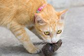 stock photo of rats  - orange cat and hunting rat for survive - JPG