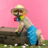 Groomed Pomeranian dog wearing shorts, colored hat and Hawaiian lei and leaning on an old suitcase o