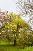 foto of babylon  - Willow with flowering magnolias in the park - JPG