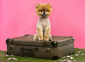 Groomed Pomeranian dog sitting on an old suitcase on grass in front of a pink background