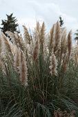 picture of pampas grass  - Cortaderia selloana or Pampas grass blowing in the wind