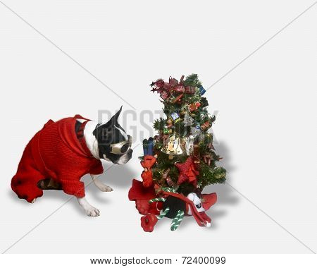 Rocco the Boston Terrier staring at Tree Santa