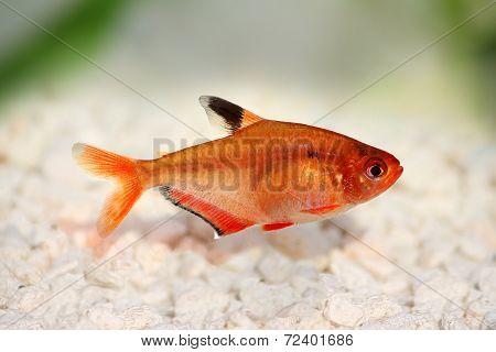 Serpae Tetra Barb Hyphessobrycon serape eques freshwater aquarium fish
