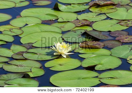 Water Lilies On A Small Lake. Nature Background.