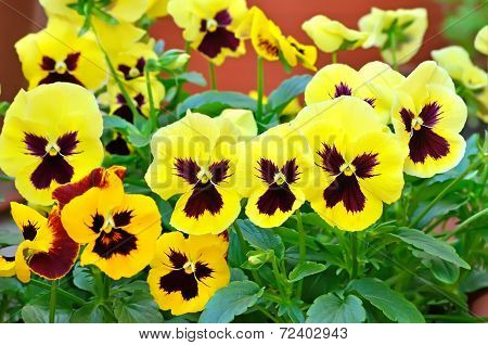 Yellow Viola Flowers