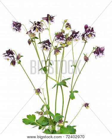 Aquilegia Vulgaris Flowers On White Background