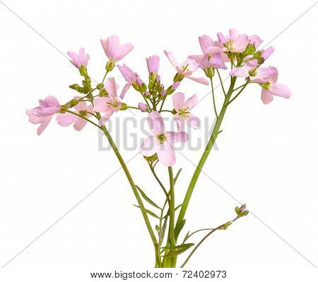 Hesperis Matronalis Flower On White Background