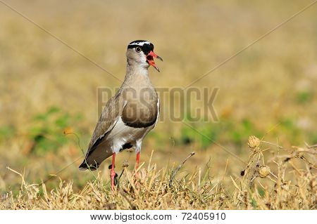 Crowned Plover - African Wild Bird Background - Princess Song
