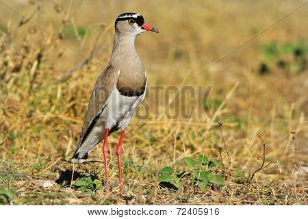 Crowned Plover - African Wild Bird Background - Nature's Princess of Birds