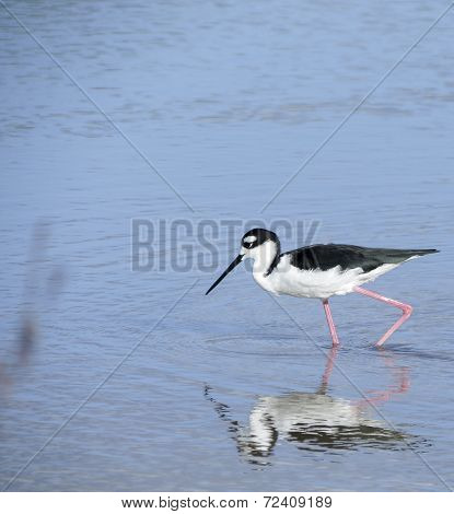 Black necked stilt, shore bird in the Galapagos.