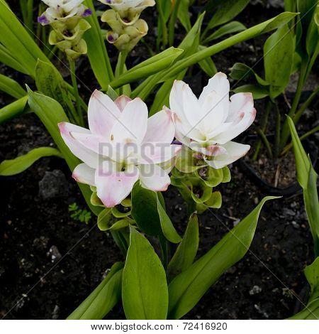 Curcuma Alismatifolia Or Siam Tulip Or Summer Tulip In The Garden Nature Thailand Vintage
