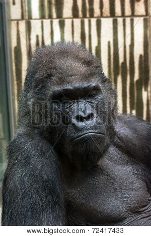Western Lowland Gorilla