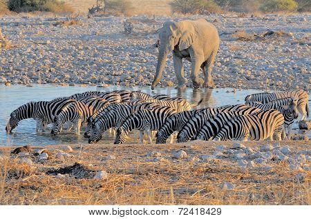 Elephant And Zebras At Sunset