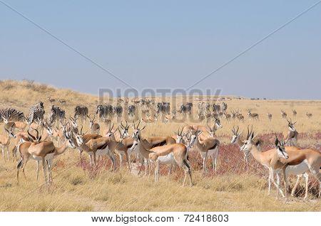 Springbok And Zebra Herds