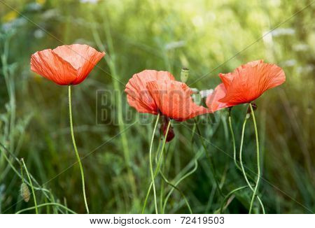 Papaver Rhoeas Red Flowers