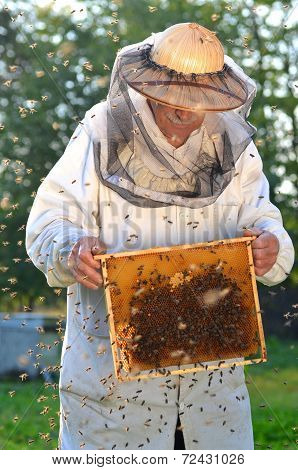 Experienced senior beekeeper making inspection in apiary and swarm of bees