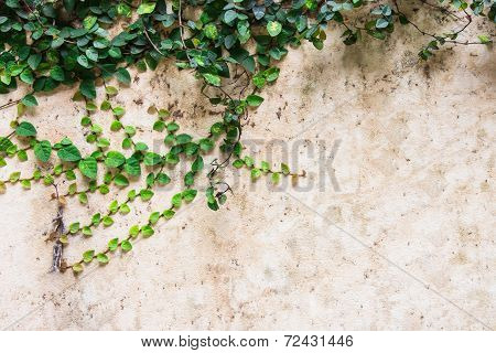 Green Creeper Plant On Cement Wall Beautiful Background