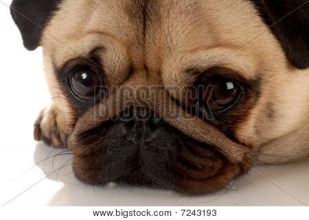 Pug Portrait