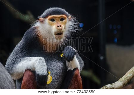 The Red-shanked Douc Langur