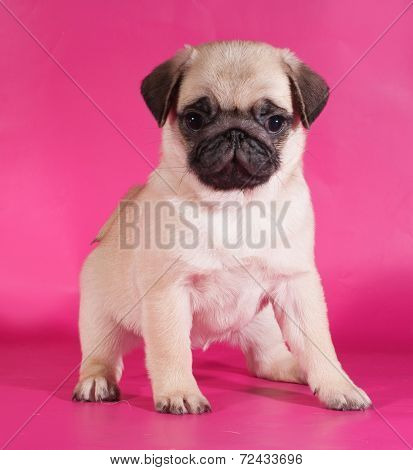 Little Yellow Pug Puppy Sitting On Pink