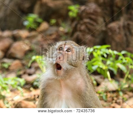 Surprised Macaque  (macaca Fascicularis)
