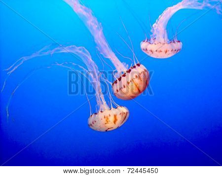 Dance of the Jellyfish